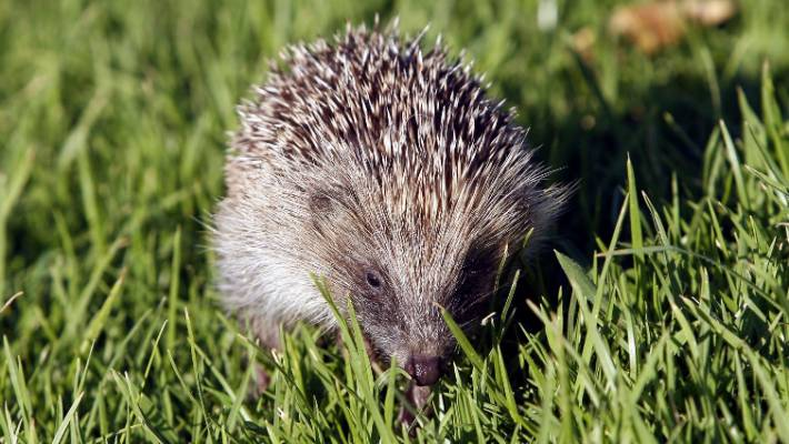11 people sick with salmonella after kissing, snuggling hedgehogs