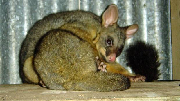This female possum lived happily in Ronnie Hitchen's shed in Kaitaia.