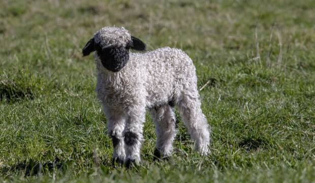 'Cutest sheep in the world' take the stage