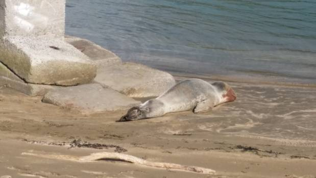 Large leopard seal suffers bloodied face after suspected dog attack in Porirua