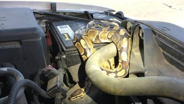 Identified as a Ball Python, the large serpent had displaced a belt on the engine.
