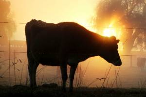 Livestock contribute the vast majority of our methane emissions, mostly through belching.