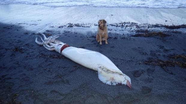 14-foot squid washes up on shore in New Zealand