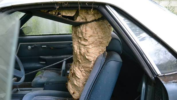 Massive European Hornets Nest Removed From El Camino