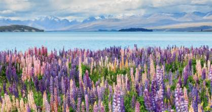 Lupins at Lake Tekapo. They look pretty to tourists, but lupins are now a highly invasive weed that spreads easily along ...