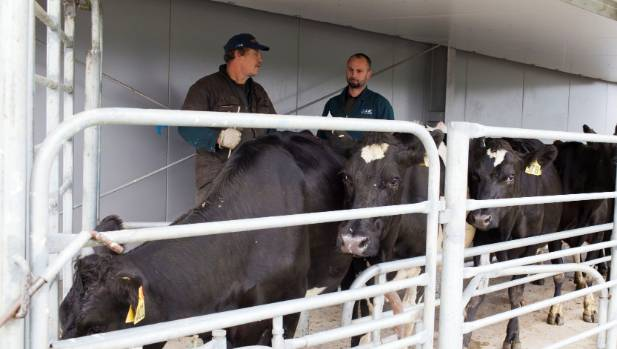 "More farmers are considering going ""no bull"", and instead using artificial breeding for the whole herd."
