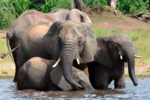 Botswana has around 130,000 elephants, the largest population in the world.