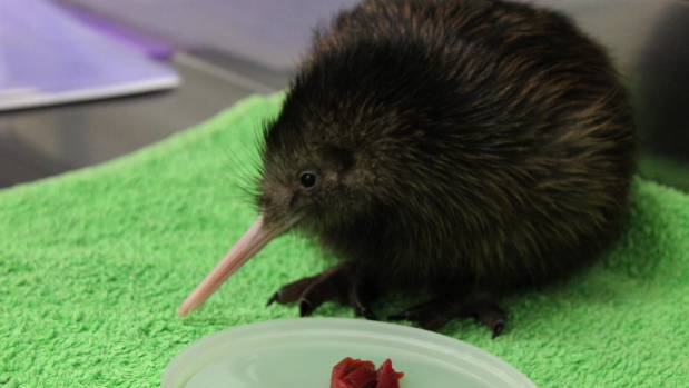 Mana, the first North Island brown kiwi to be hatched at Pūkaha National Wildlife Centre during the 2018 hatching ...