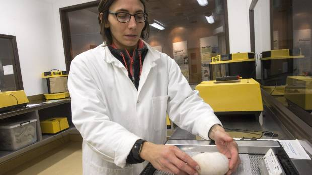 Jess Flamy, wildlife supervisor at Pūkaha National Wildlife Centre, with a kiwi egg.