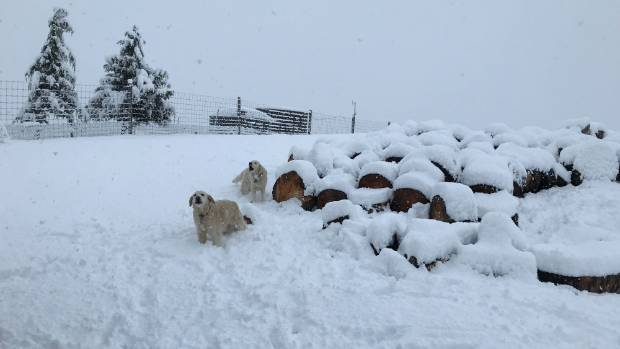 Dogs at Arrow Junction, between Arrowtown and The Remarkables Ski Area.