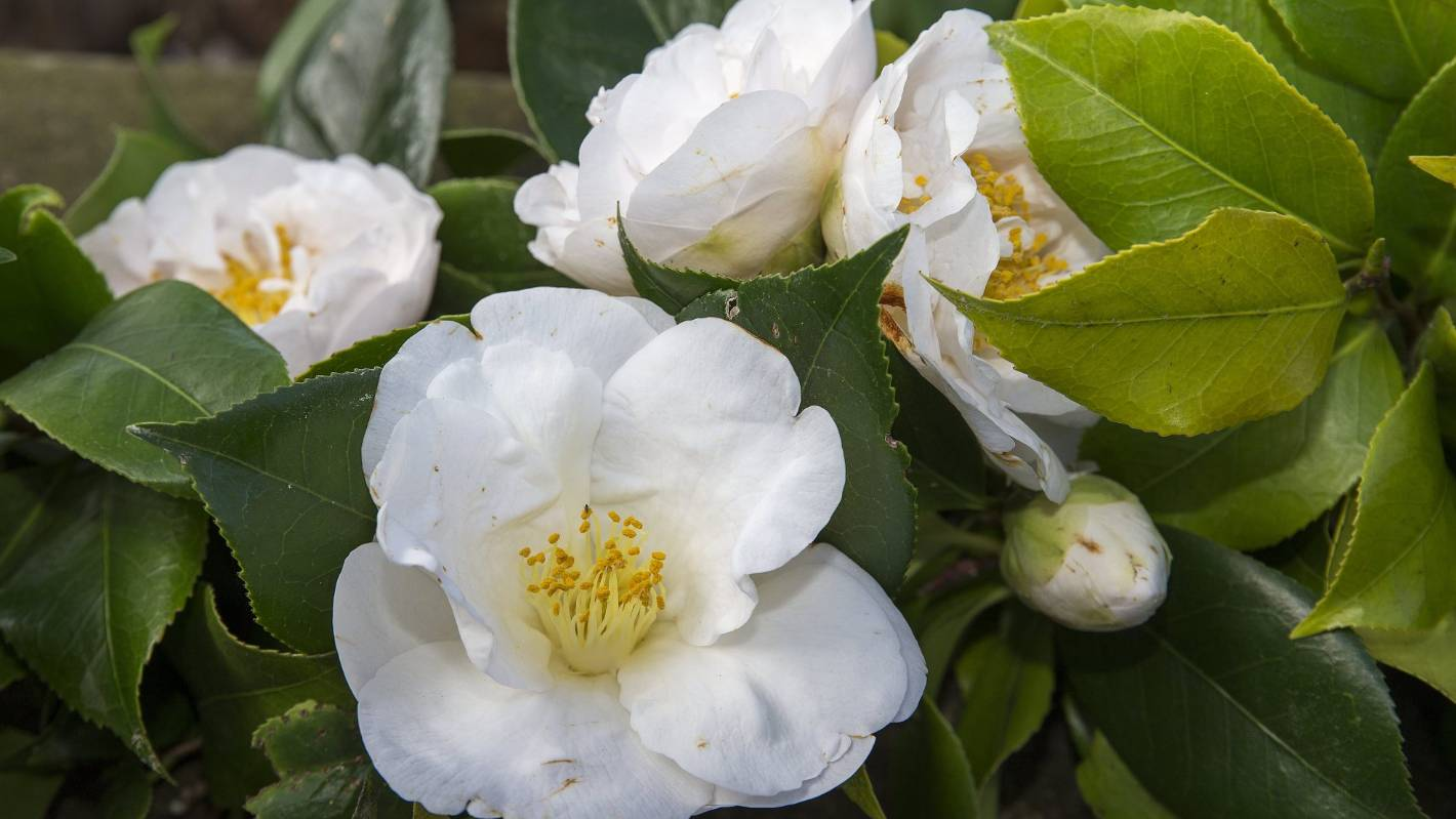 White Camellias Bursting Into Springtime Are Forever A Symbol Of