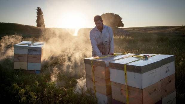 A beekeeper prepares to place hives into a remote location so bees can harvest mānuka.