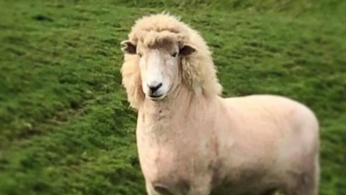 famous shearing family give sheep a mullet stuff co nz