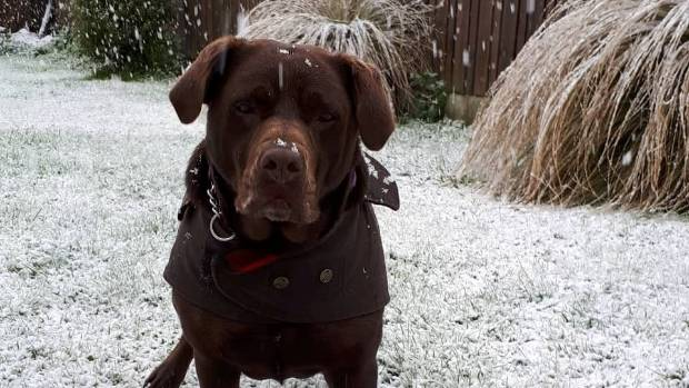 Maze the dog is fascinated by the snow falling in Te Anau on Wednesday.