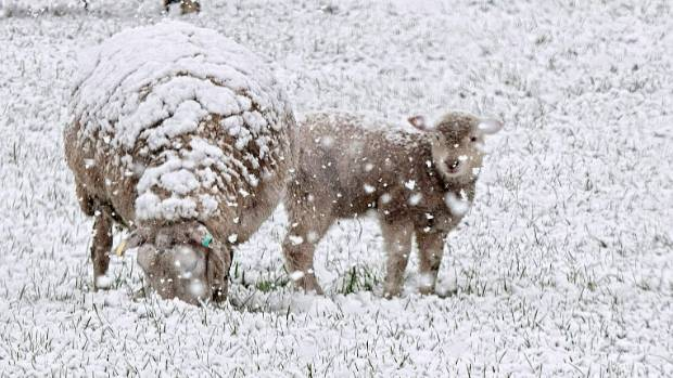 Lambs and sheep in the snow.