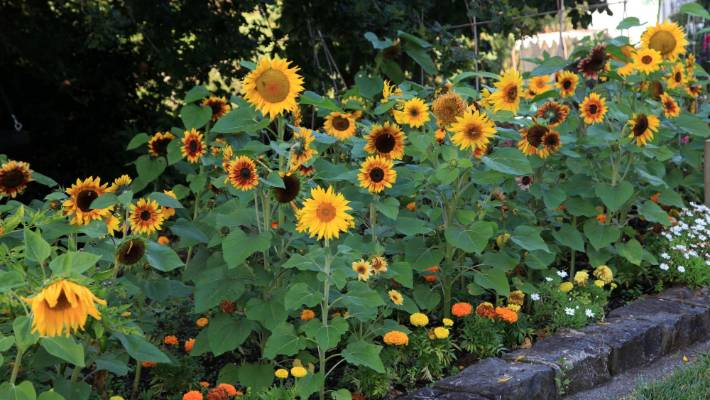 40 Seeds Kings Seeds Sunflower Teddy Bears