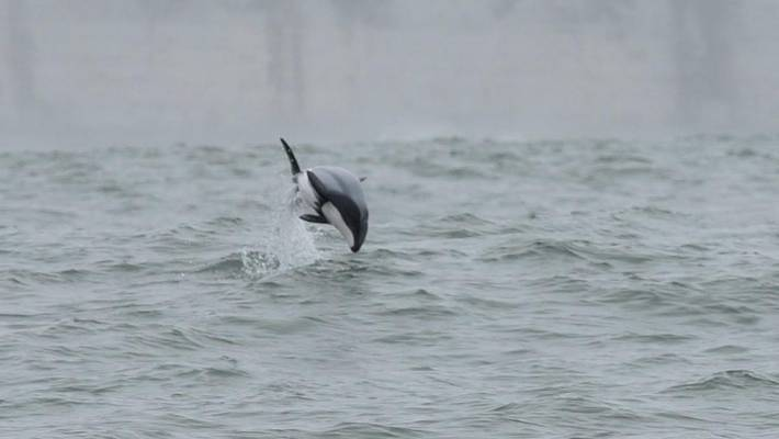 Māui's dolphin or popoto is the world's rarest and smallest known subspecies of dolphin.