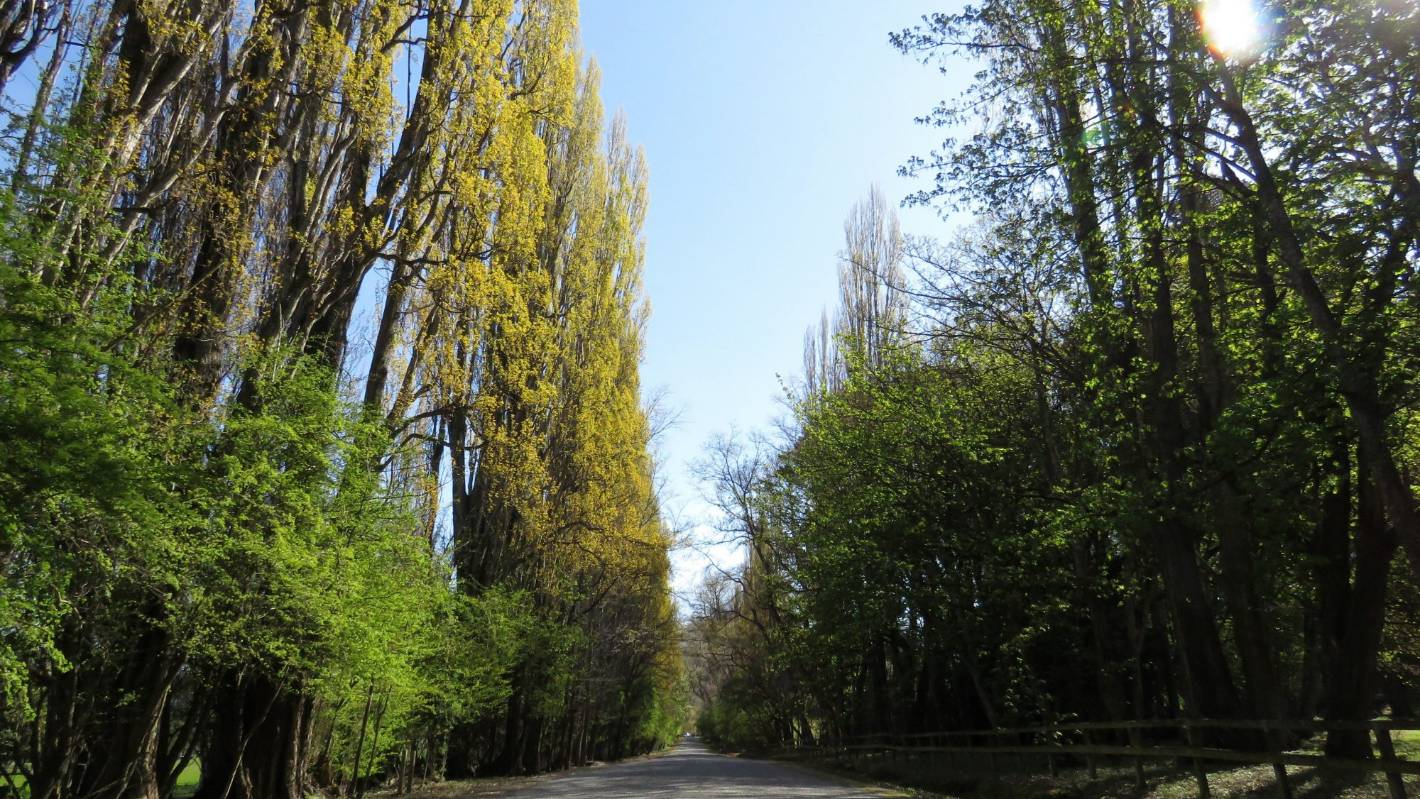 Queenstown Council ignored advice on managing risky poplar trees