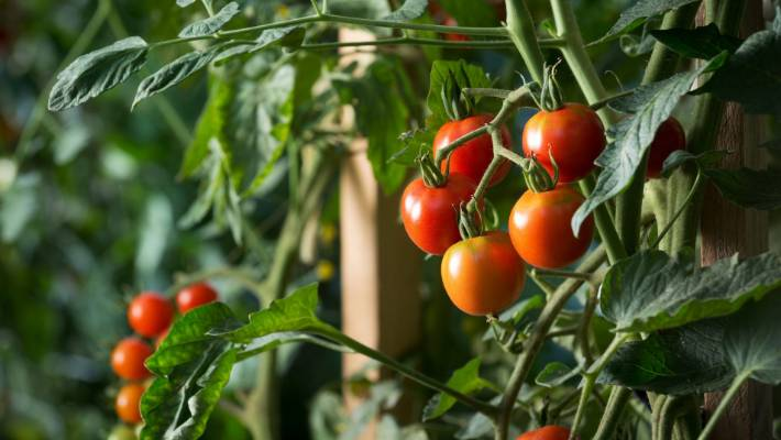 When weather gets warmer, tomatoes come in good delivery and prices drop.