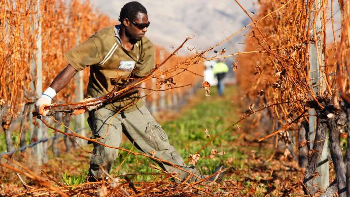 Pacific seasonal worker cap increased to cope with harvest demand in