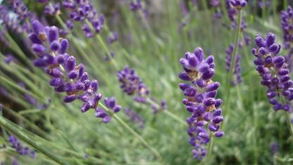 How to grow lavender | Stuff co nz