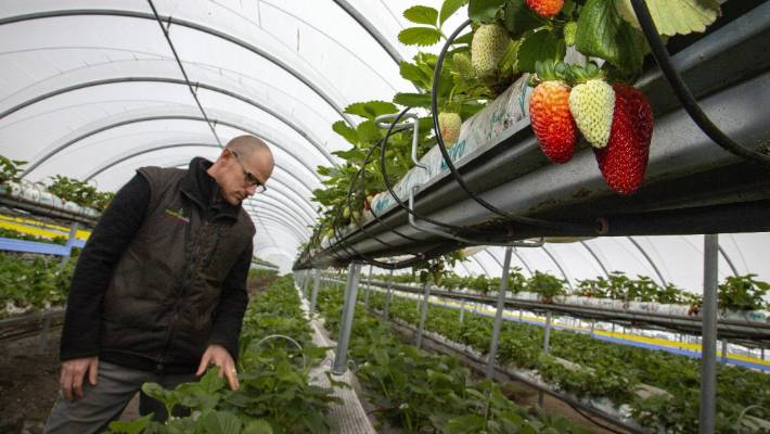 Horowhenua Asparagus Grower Branches Into Strawberries To Shore Up Staff Stuff Co Nz