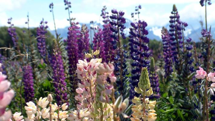 The Russell lupin is often loved by tourists for its colour and coveted by Mackenzie Basin run holders as pasture, but its reviled by Environment Canterbury (ECan) and the Department of Conservation as an invasive weed. (FIle photo)