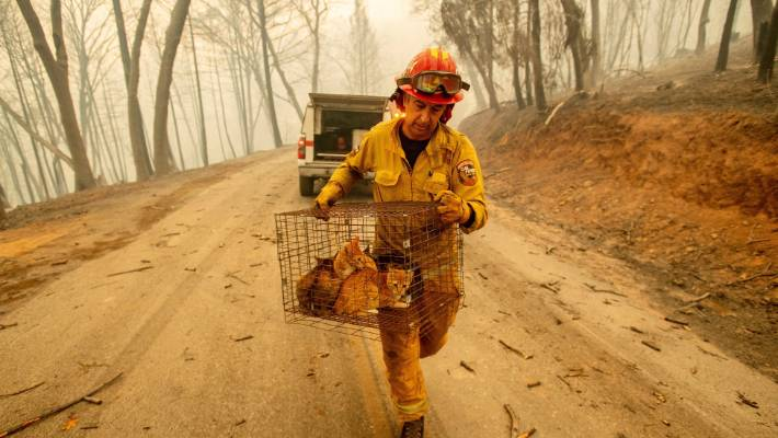 Captain Steve Millosovich carries a cage of cats while battling the Camp Fire in Big Bend, California. The cats fell from the back of a vehicle evacuating to safety.