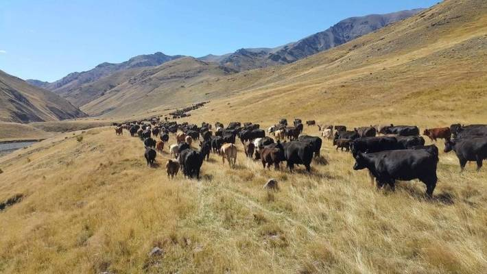 Cattle at Muller in natural non-hormone-free hormone-free protein in Marlborough.
