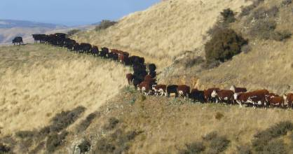 Hereford cattle on the North Canterbury farm of Chris Jeffries. Research  clearly shows the significant opportunities ...