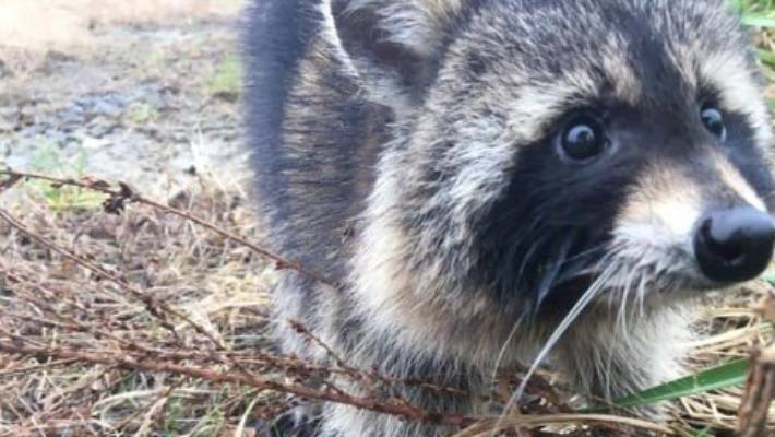 'Rabid' raccoons turn out to be drunk on fermented crabapples