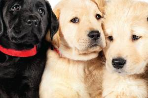 Pick of the Litter follows five labrador puppies as they undertake a rigorous guide dog training programme.