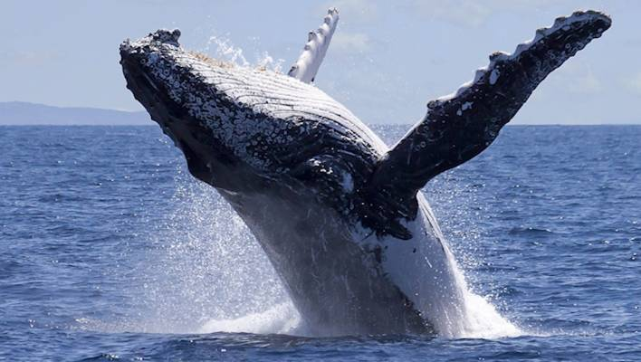 Humpback whales eat tiny fish, but their huge mouths can scoop up other things - like sea lions.