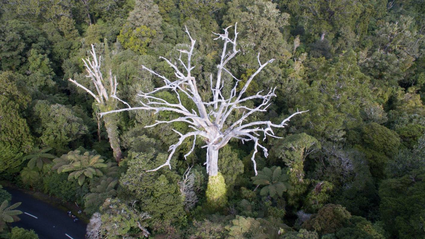 Kauri Dieback Disease Found In Tree Near Mahurangi College