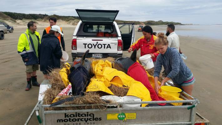 Eight whales were transported from the West Coast to the East Coast in Northland to refloat them on Tuesday morning.