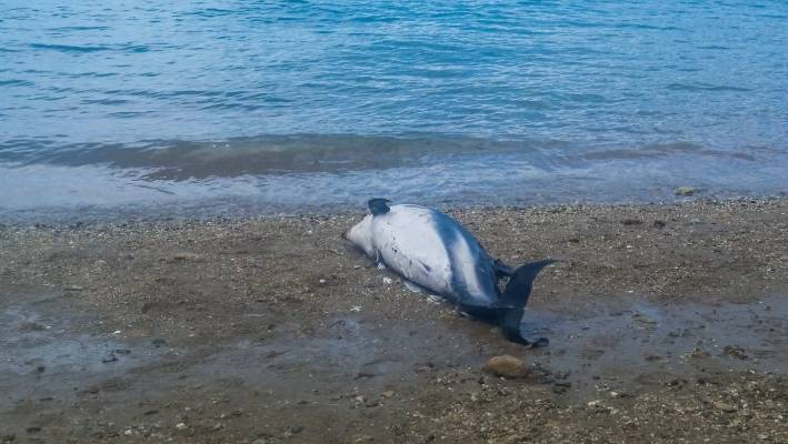 divers find dead dolphins in new zealand king salmon nets stuff co nz