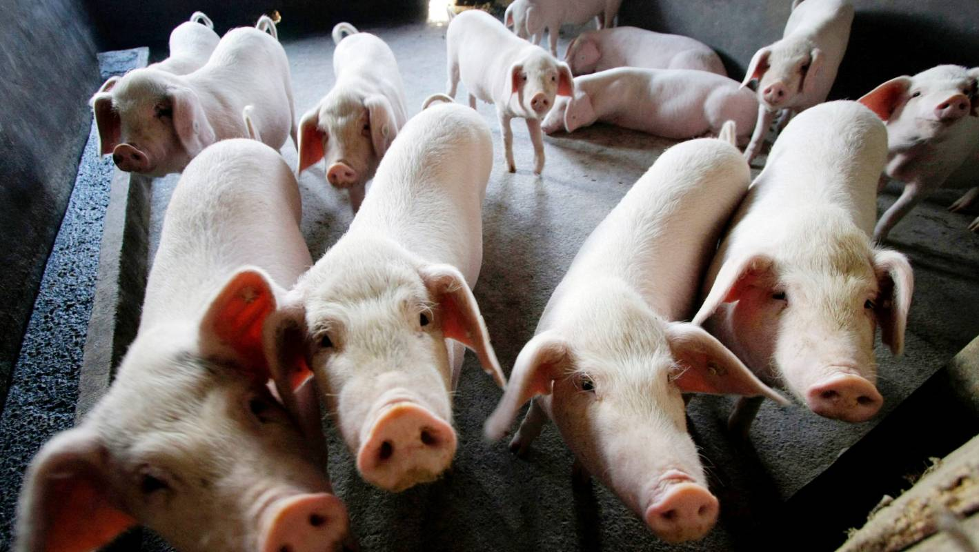China pig 'insult' creates a major problem for Swiss banking giant UBS