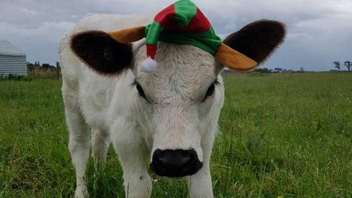 Merry Christmas everyone, from Spruce the calf.