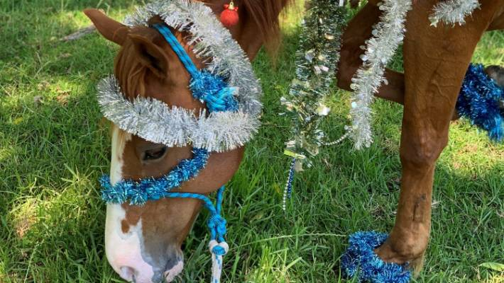 Kahu grazing in his paddock after being decorated in tinsel.
