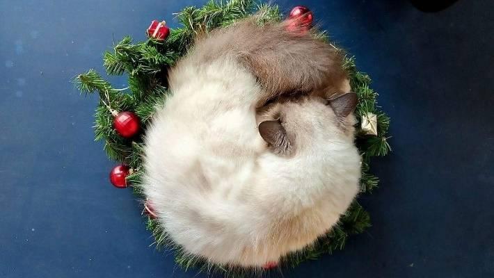 Oscar the cat sleeps inside a Christmas wreath.