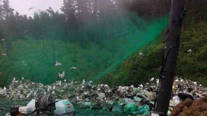 At Spicer Landfill birds were painted 'apple green' for the Wellington Airport bird tracking plan to monitor birdstrike.