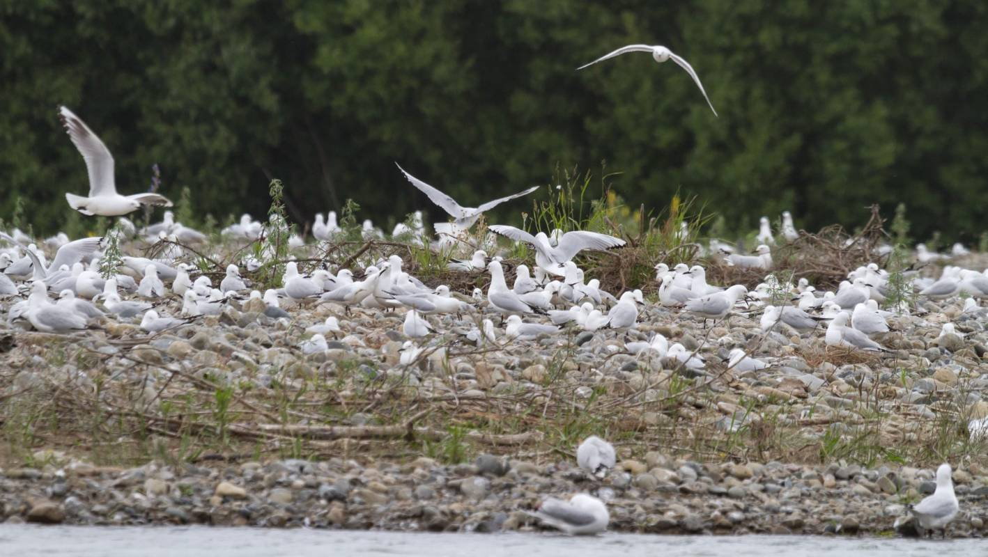 Black-billed gulls relocate after devastating floods