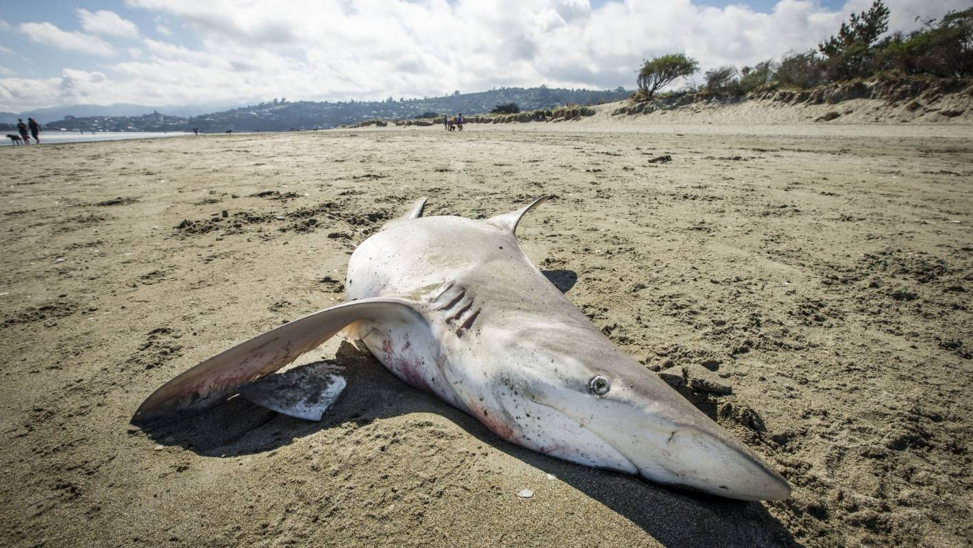 Dead shark washes up on Nelson beach
