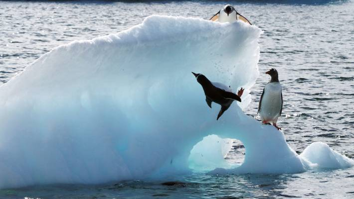 Gentoo penguins are great for comic relief.