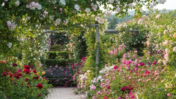 2e72ea06c4b24e David Austin  s breeding programme created a whole new class of rose  the  English