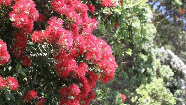 Why Some Pōhutukawa Flower More Than Others Stuff Co Nz