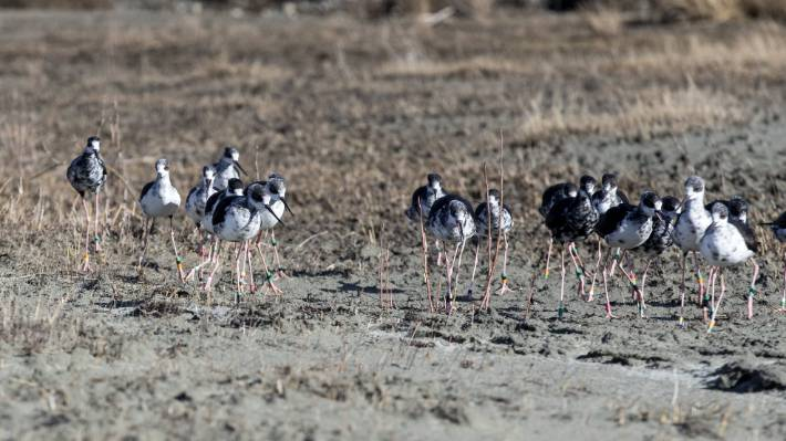 There are plans to double the protection area for kakī/black stilt in the Mackenzie Basin over the next two years.