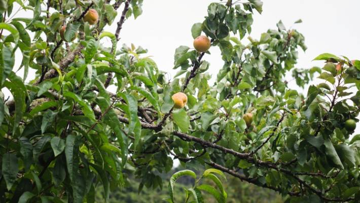 After a hefty prune with a chainsaw, Nicola Galloway's apricot tree finally started producing fruit.