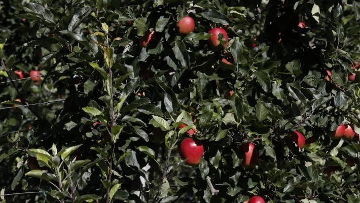 A bumper apple crop is tipped for the Tasman district.