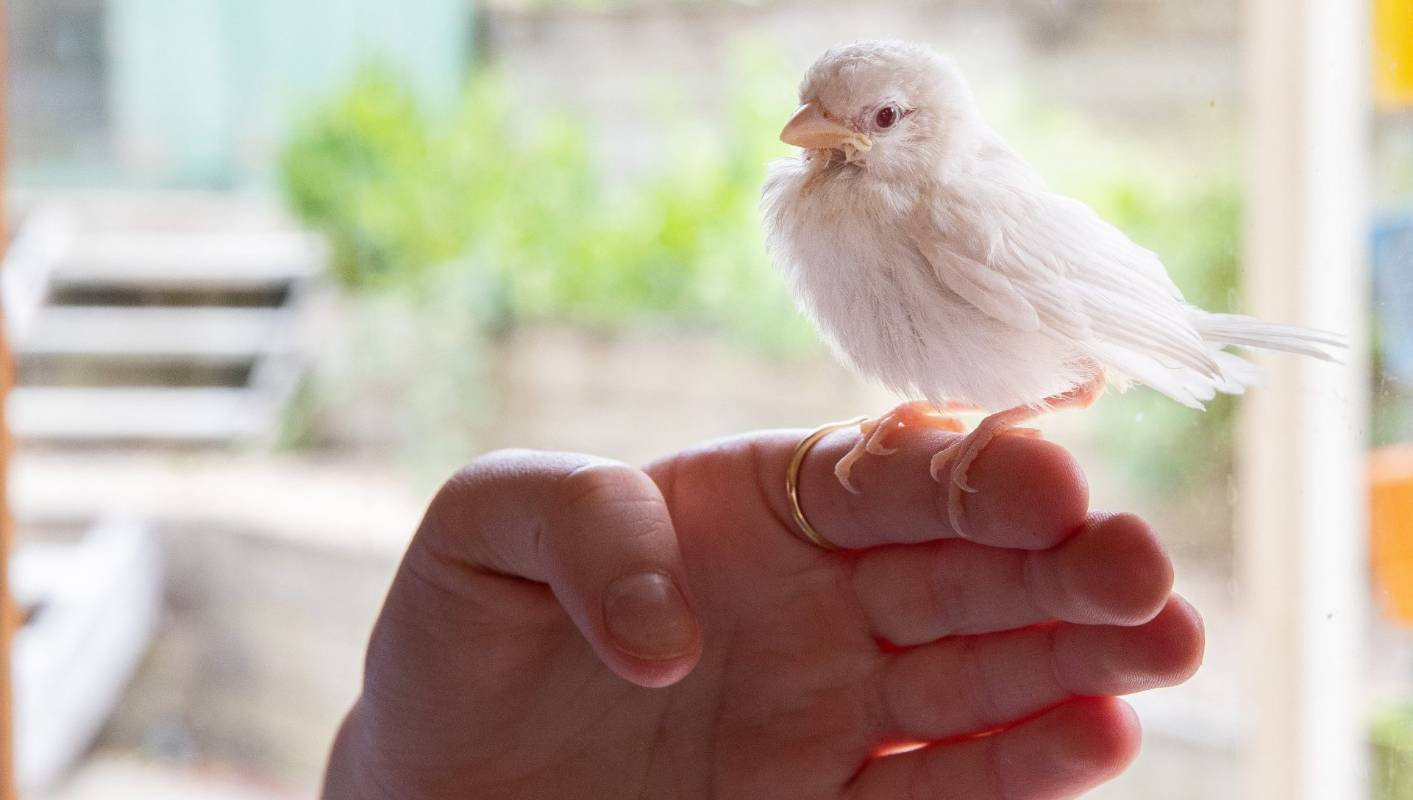 A rare albino sparrow is recuperating in Cambridge